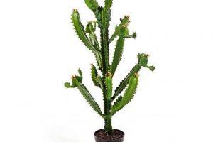 Cactus Euphorbia